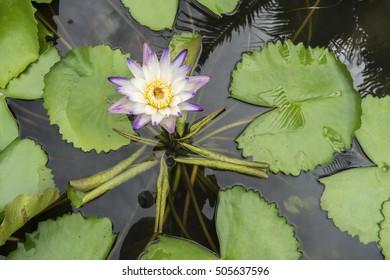 Violet lotus blooming in the pond.