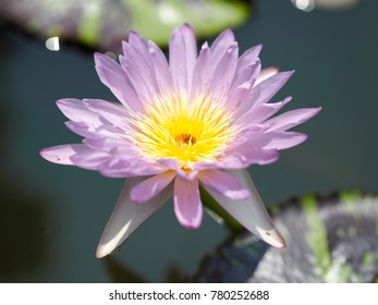 Violet lotus flower in Thailand