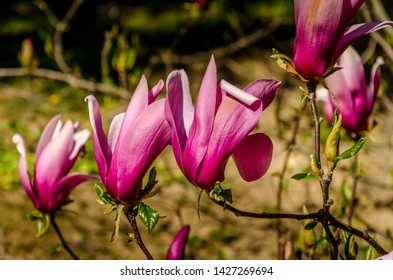 Violet magnolias on blurred tree branches background