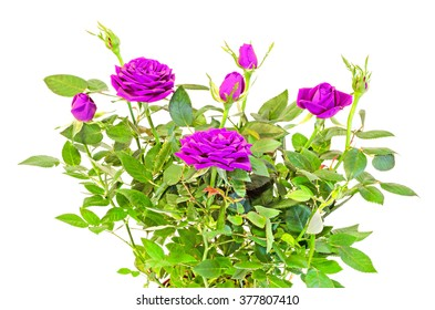 Violet, mauve roses flower bush with buds, green leaves, close up, white background.