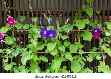 Violet Morning glory flowers in summer.