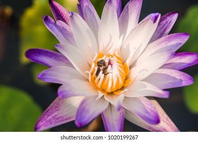 A violet nymphea