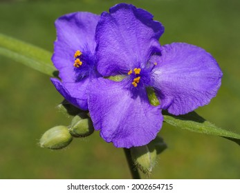 Violet Ohio spiderwort flower, close up. Tradescantia ohiensis commonly known as bluejacket or wild crocus, is an herbaceous,  perennial, flowering plant in the family Commelinaceae.