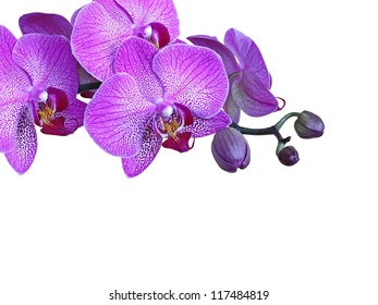 Violet orchid branch, isolated, with buds