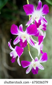 Violet Orchid with dark background.