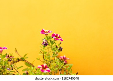 Violet petunia flowers and a yellow wall background