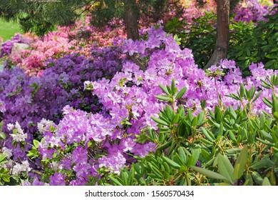 Violet and pink azalea flowers bloom in spring garden