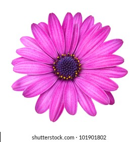 Violet Pink Osteosperumum Flower Daisy Isolated on White Background