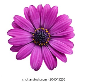 A violet Pink Osteosperumum Flower Daisy