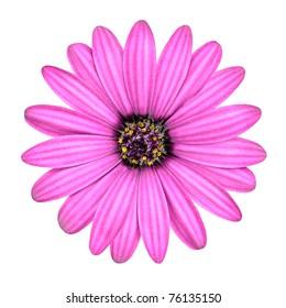 Violet Pink Osteosperumum Flower Daisy Isolated on White Background. Macro Closeup