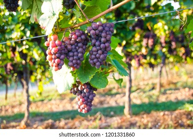 Violet pinkish grapes hanging on vines in a vineyard during autumn, ready to be harvested and produced into wine (grape type: Portugieser Weissherbst). Selective focus