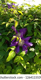 Violet, pinwheel-shaped flowers among the dense green foliage. Showy purple flowers with creamy white tufted centers. Clematis large flowers & green leaves, densely covering a fence with green leaves.