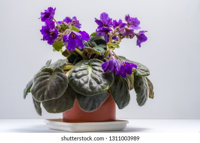 Violet in a pot on a white background.