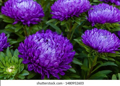 Violet, purple aster flowers (aster, Michaelmas daisy) in green background. Colorful multicolor aster flowers annual plant. Close up of aster flower garden bed in autumn garden.