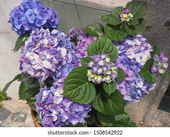 Violet, purple, blue, pink and white, yellow colors of Hydrangea flower blossoms. Bigleaf Hydrangea macrophylla or beautiful multicolored Hortensia shrub with large, showy flowers and colorful sepals.