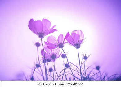 violet or purple color tone of soft focus on the cosmos flowers