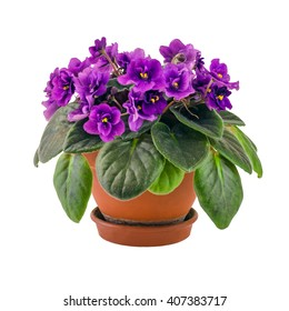violet purple flower in a pot isolated on white background