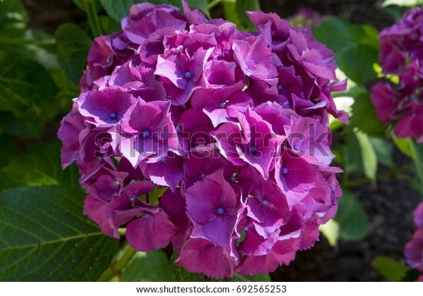 Violet Purple Hydrangea