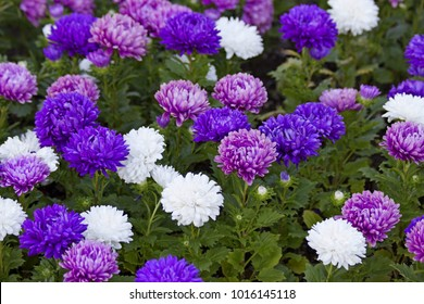 Violet purple pink & white aster flowers on green leaves background. Colorful multicolor aster flowers perennial plant. Close up of aster flower garden bed in early autumn september day in farm field