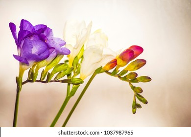 Violet and red fressia on white background ,spring flowers