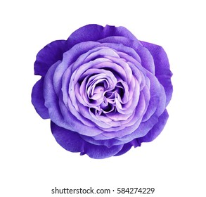 violet rose flower. white isolated background with clipping path. Nature. Closeup no shadows. Nature.