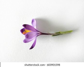 Violet saffron on white background / Purple Crocus