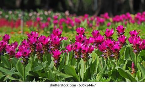 Violet Siam Tulip