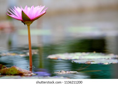 Violet Star Lotus flower or Nymphaea nouchali or Nymphaea stellata is a water lily of genus Nymphaea.