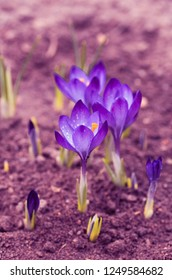 Violet toning. Bright purple hue. Blooming crocuses. The first spring flowers.