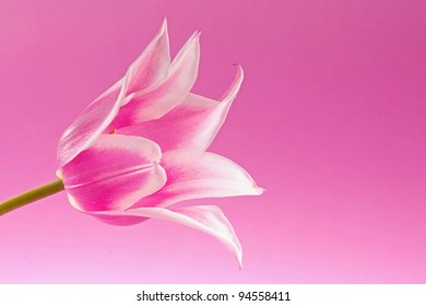 Violet tulip on the lilac background
