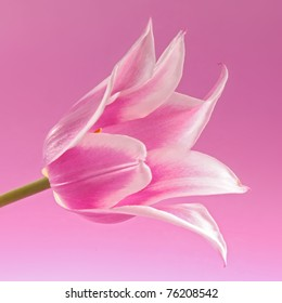 violet tulip on the pink background