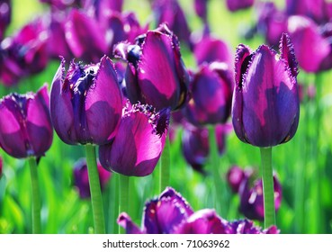 The violet tulips