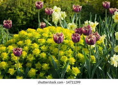 violet tulips with yellow plants