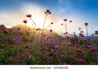 Violet verbena flowers field on hill background with sunshine.