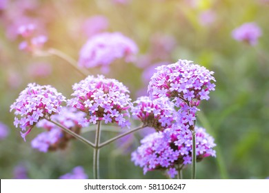 Violet verbena flowers on blurred background with sunshine in the morning.