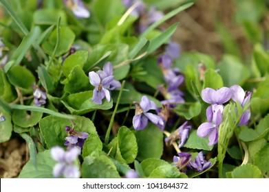 Violet, Viola, violet blossoms in spring, close-up, with green leaves