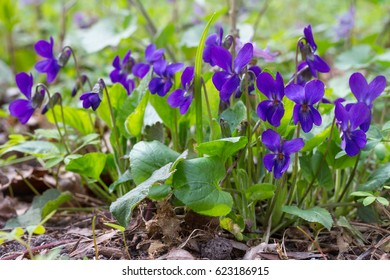 Violet violets flowers bloom in the spring forest. Viola odorata