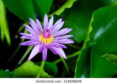 Violet water lily flower blooming with green leaf in the pond in dim light / Select focus