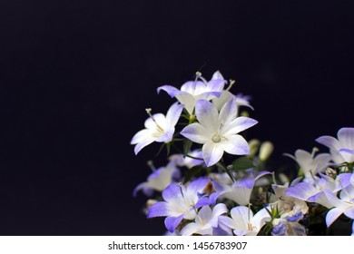 Violet and white blooming 'Campanula' Bell Flower ' on dark black background