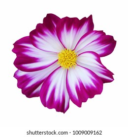 violet and white cosmos flower isolated on white background (whit clipping path)
