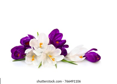Violet and white crocuses (Crocus vernus) on a white background with space for text.