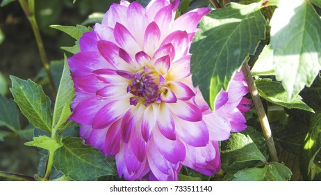 Violet and white dahlia among green leaves, garden composition