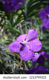violet with white dot orchid