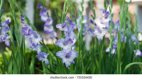 Violet and white gladiolus flowers within a green background.