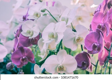 Violet and white Phalaenopsis Moth Orchid beautiful flowers in winter or spring tropical garden.