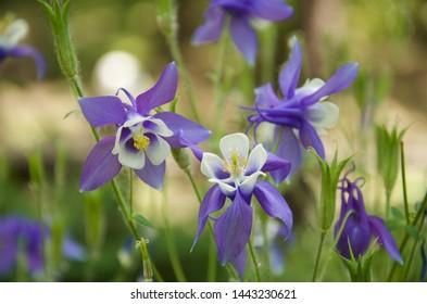 violet white western columbine flower in green garden blurred background