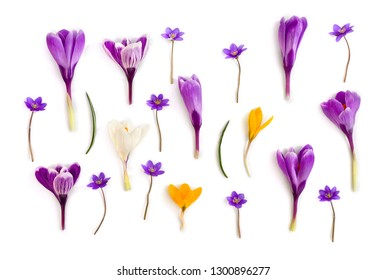 Violet, white, yellow crocuses (Crocus vernus) and violet flowers hepatica ( liverleaf or liverwort ) on a white background. Top view, flat lay