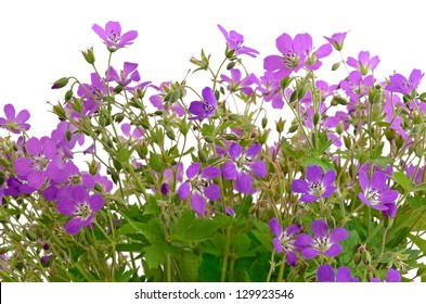 Violet wild flowers isolated on white background