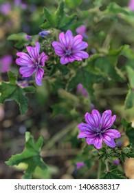 Violet wild flowers (Malva sylvestris) - Shutterstock ID 1406838317