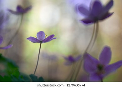 violet wild wood anemone in shallow depth, Early spring wildflowers with a dreamy bokeh giving a dreamy romantic and fragile image